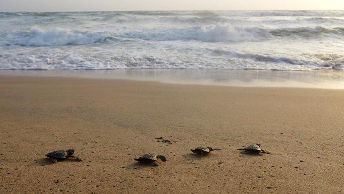 Những bé rùa di chuyển ra biển sau khi được thả