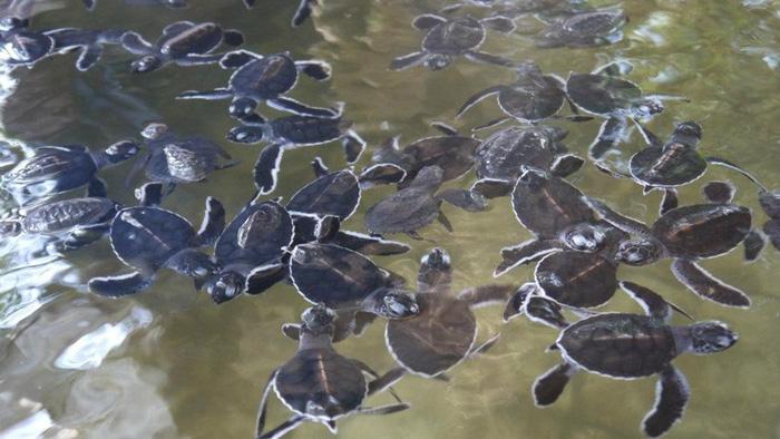 Những bé rùa con dễ thương mới nở trong một trại rùa ở Bentota