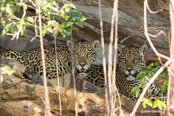 Pantanal là địa điểm khám phá hoàn hảo tại Nam Mỹ dành cho những ai yêu động vật bởi sẽ không có một nơi nào có được thế giới muôn loài hoang dã, phong phú hơn. Các loài động vật ở đây rất dễ quan sát trong môi trường sống mở, với đàn vẹt đuôi dài sặc sỡ, cá sấu nằm dài phơi nắng hay từng đàn chim bay rợp trời...