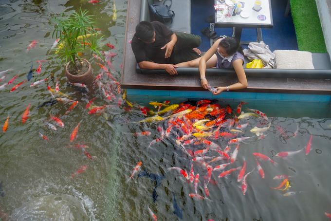 """Dưới hồ, chủ quán thả 300 ký cá Koi Nhật Bản. """"Giống cá này màu sắc sặc sỡ nhìn bắt mắt lại sang trọng và thân thiện với con người"""", anh Sang giải thích. Quanh hồ nước, chủ quán đầu tư hệ thống chống thấm, lọc nước, trang trí nhiều tiểu cảnh cây kiểng nhỏ tạo nên một không gian hữu tình."""