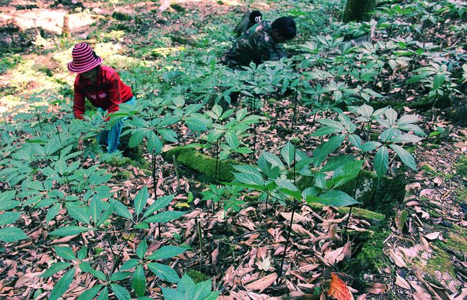 Từ vườn trại sâm giống của huyện, tiếp tục leo núi khoảng 3 giờ đến nơi người dân trồng sâm. Dưới những tán rừng cổ thụ sâm được trồng dày đặc. Loại dược liệu này sinh trưởng phát triển nhờ tự nhiên, chúng không cần đến phân bón hay thuốc bảo vệ thực vật.