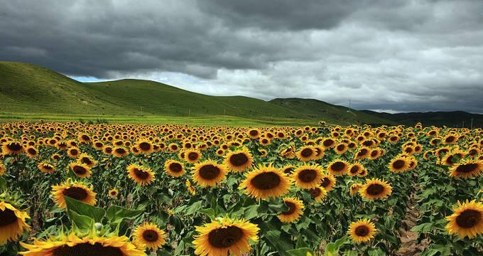 Tuy nhiên, trên thảo nguyên Hy La Mục Nhân cũng có những thảm hoa hướng dương rực rỡ.