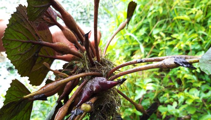 Ấu là một loài thân đốt, lá hình tròn, có mép răng cưa nổi trên mặt trước và củ ấu mọc ra từ trong thân.