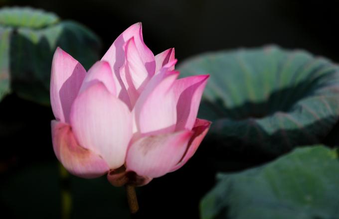 """""""Để ngắm hoa đẹp, khách nên đến vào sáng sớm, lúc này sen mới nở còn tươi lại đọng sương sớm, thời tiết không nắng gắt nên dễ chụp ảnh. Hoa sen có cánh mỏng nên khi nở rộ sẽ mau tàn"""", người chủ đầm sen cho biết."""