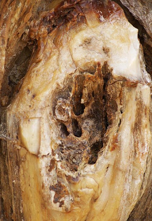 Vân gỗ hóa thạch.