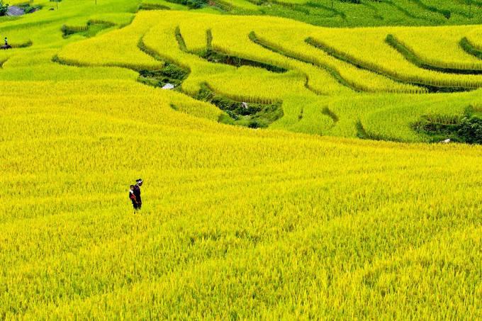 5. Hoàng Su Phì: Hoàng Su Phì là địa danh nổi tiếng với những ruộng lúa bậc thang chín vàng bát ngát thơ mộng. Khoảng tháng 5 (mùa nước đổ) hoặc tháng 9 (mùa lúa chín) đều là thời điểm tuyệt đẹp để tới đây. 5. Hoàng Su Phì: Hoàng Su Phì là địa danh nổi tiếng với những ruộng lúa bậc thang chín vàng bát ngát thơ mộng. Khoảng tháng 5 (mùa nước đổ) hoặc tháng 9 (mùa lúa chín) đều là thời điểm tuyệt đẹp để tới đây. Ảnh: @Youtube.