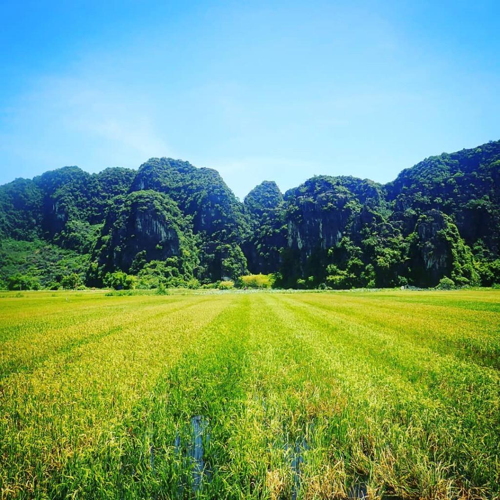 Những thảm sắc màu sinh động là sự hòa trộng, xen lẫn giữa cánh đồng lúa xanh với lúa chín vàng.
