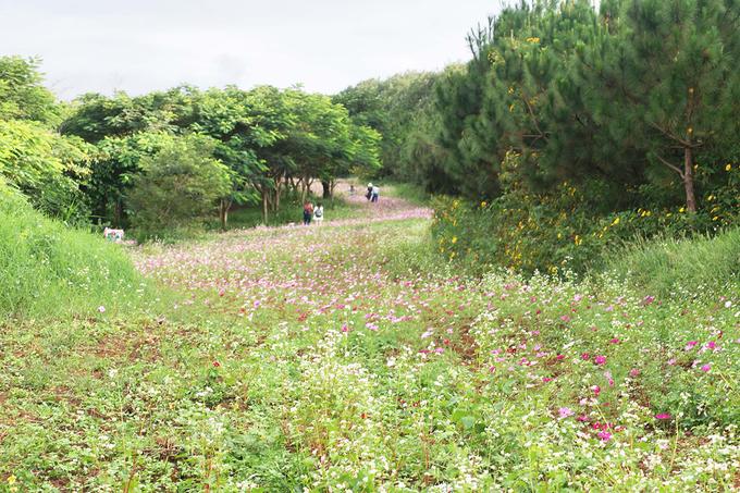 Đi tiếp con đường mòn phía sau nhà máy chế biến sữa, du khách sẽ lạc vào một cánh đồng hoa chạy dài uốn lượn như bất tận, hai bên là rặng thông xanh ngút ngàn.