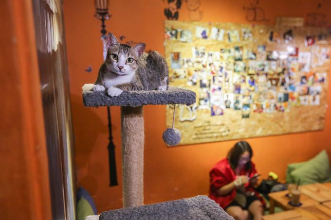 Nếu như những quán cà phê mèo khác đa phần là giống nhập ngoại để làm cảnh thì ở quán này hầu hết là mèo ta.