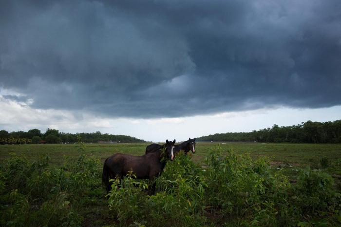Những con ngựa hoang dã gần khu vực dân cư Pirlangimpi trên đảo Melville - Ảnh: DAVID MAURICE SMITH, OCULI/NG