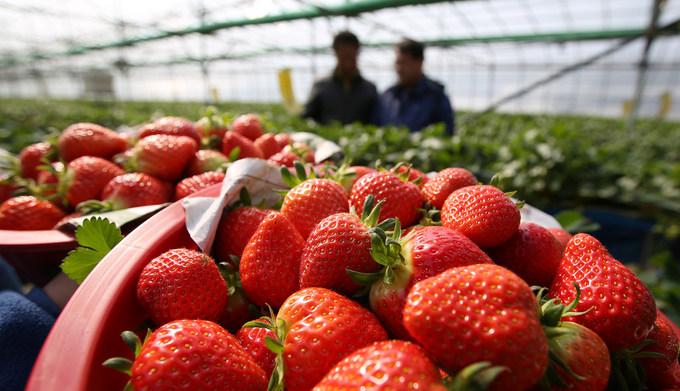 Loại quả thứ hai của Sancheong được nhiều người biết tới là những trái dâu tây chín mọng, ngọt và rất tươi. Dâu ở đây được trồng quanh năm trong nhà kính. Ảnh: Flickr.