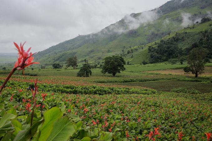 Bù lại, suốt dọc đường men theo triền núi, du khách sẽ được ngắm những ruộng dong riềng trổ hoa đỏ thắm. Đây là một trong những vùng đất hiếm hoi trên cả nước và cũng là nơi duy nhất ở Tây Nguyên có thổ nhưỡng hợp với loại cây dài ngày này.