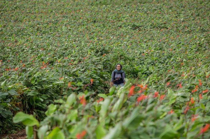 Hoa dong riềng bắt đầu nở vào tháng 7 và kéo dài đến khoảng tháng 10. Theo nông dân ở đây, dù không được tưới tiêu nhưng cây vẫn xanh tốt. Trong suốt mùa vụ, nông dân chỉ bón phân đúng 3 lần trước khi cây trổ hoa.