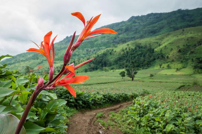 Dong riềng được trồng vào tháng 3 để tránh mùa mưa. Anh Lý Tiểu Sỹ (40 tuổi), nông dân có gần 20 năm kinh nghiệm, cho hay, giống cây này có hiệu quả kinh tế cao hơn so với khoai lang, có thời điểm giá là 20.000 đồng một kg.