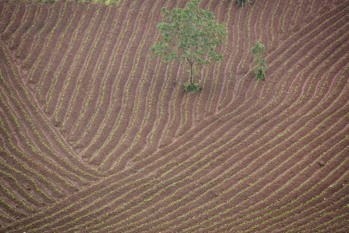 Những luống khoai lang đều và uốn lượn mềm mại trong miệng núi lửa. Trước mỗi mùa vụ, nông dân dùng bò đi trước để tạo luống; người sẽ theo sau để cắm những cây giống được chọn lựa từ mùa trước.