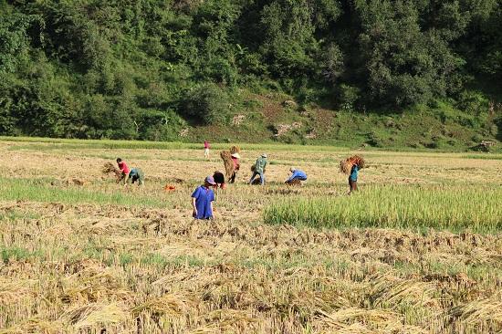 Bất cứ ai đi qua cánh đồng lúa Ngọc Chiến cũng phải dừng chân ngắm nhìn.