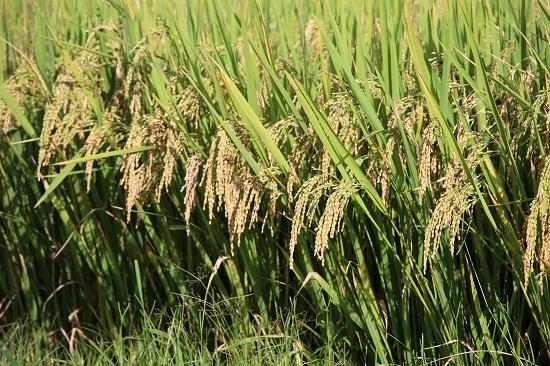 Cánh đồng lúa chín vàng trên cao nguyên Ngọc Chiến đang được người dân bắt đầu thu hoạch. Những hạt lúa nếp tan này sẽ được sử dụng làm xôi, hoặc các loại bánh trong lễ hội cơm mới.