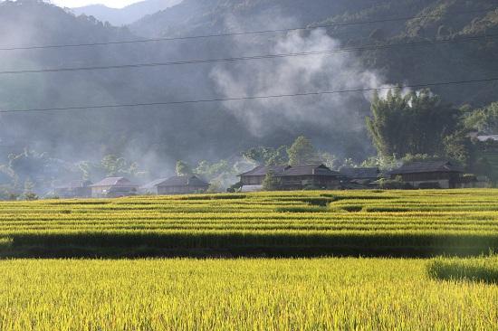 Theo ông Pháng, cánh đồng lúa nếp của Ngọc Chiến rộng trên 665 ha, sản lượng đạt trên trên 4.000 tấn. Trên cánh đồng trồng 2 loại lúa nếp là giống nếp 87 và giống nếp tan địa phương được người dân nơi đây trồng từ rất lâu.
