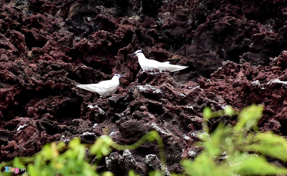 Đôi chim hải âu tình tự trên vách đá trầm tích núi lửa ở hòn Đụn.