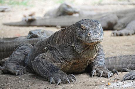 Indonesia là nơi sinh sống của rồng Komodo. Đây là loài vật đáng sợ, nặng 70 kg, có thể dài tới 3m. Các vết cắn của chúng đều có độc. Ảnh: Telegraph.