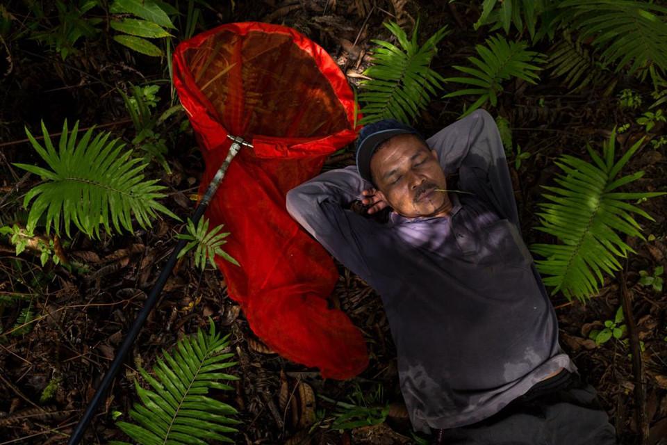 Có những thợ săn bướm trên đảo Sulawesi đã dành phần lớn cuộc đời cho công việc gian khổ, hiểm nguy này. Họ thường trải qua các chuyến đi hàng tháng trời liền, qua hàng trăm dặm. Trong nhiều thập kỷ, một mạng lưới kết nối người cung cấp thông tin, người vận chuyển, người săn bướm ở khu vực rừng núi địa phương với các nhà sưu tập bướm trên toàn cầu được thiết lập.