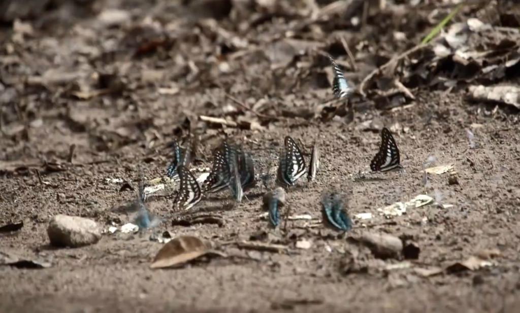 """Công việc săn bắt bướm không hề dễ dàng, có lúc phải đuổi theo đàn bướm vào sâu trong những cánh rừng xa xôi. Ví dụ, loài bướm papilio blumei chỉ sống ở một độ cao nhất định. Muốn bắt được chúng, người ta phải chinh phục những vách đá, thác ghềnh dốc đứng, ẩm ướt nhiều rủi ro. Điều này lý giải vì sao trên thị trường """"chợ đen"""", một số mẫu bướm quý trị giá lên đến cả nghìn USD."""