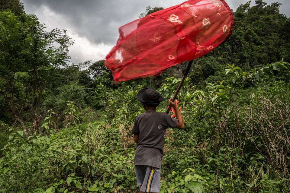"""Các """"tay"""" mua bán bướm cũng thường sử dụng trẻ em trên đảo Sulawesi cho việc tìm và bẫy bướm. Được trang bị lưới tơ, những đứa trẻ này làm việc từ sáng đến tận chiều hôm sau, tức khoảng thời gian côn trùng hoạt động mạnh nhất, như những người lớn thực thụ."""
