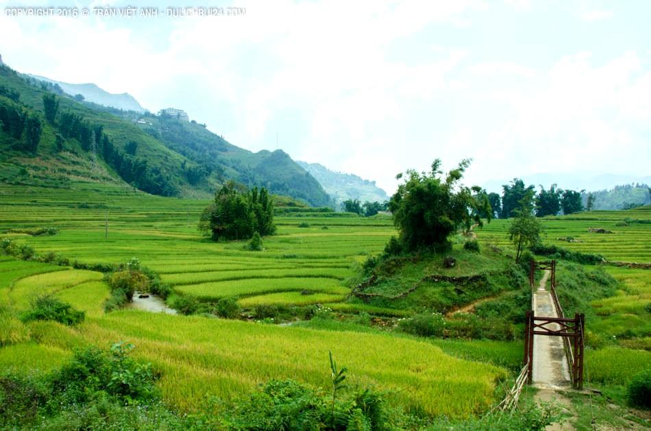 Cánh đồng lúa ở Cát Cát kéo dài tới tận Lao Chải – Tả Van – Bản Dền – Thanh Kim... Ảnh: Trần Việt Anh.