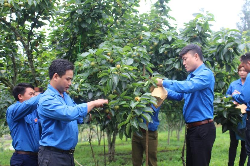 Cán bộ kỹ thuật hỗ trợ đoàn viên thanh niên xã Nậm Pung cách chăm sóc lê Tai Nung. Ảnh: Hoàng Trường-Phạm Thúy.