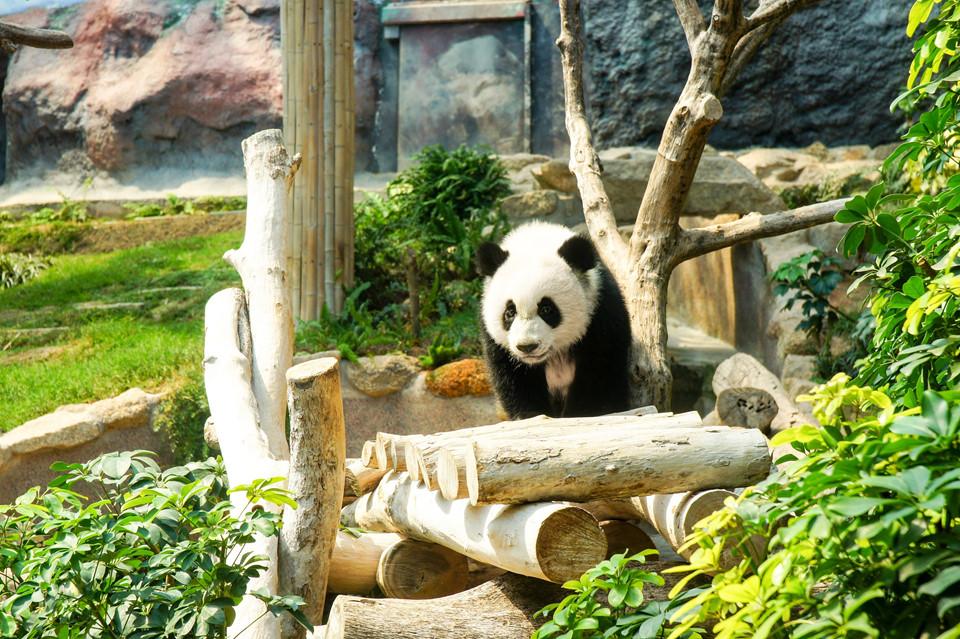 Khu nuôi gấu trúc: Công viên Seac Pai Van có khu nuôi gấu trúc nổi tiếng. Với phí vào cửa khoảng 1,25 USD, bạn có thể khám phá cơ sở hiện đại rộng 3.000 m2 này và gặp gỡ những chú gấu trúc hay gấu trúc đỏ đáng yêu. Ảnh: Arrival Guides.