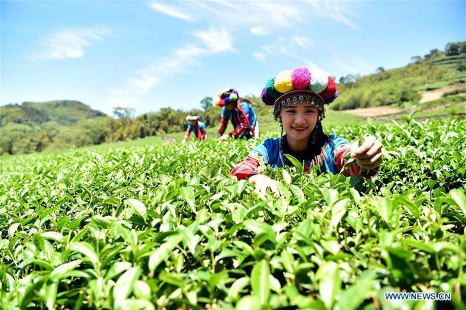 Vùng núi A Lý Sơn có thổ nhưỡng thích hợp để trồng wasabi, một số người Tsou ngày nay theo nghiệp này. Họ còn có đặc sản trà Ô Long trứ danh nhờ học cách trồng trà của người Hán. Lợi nhuận cao từ trà Ô Long và wasabi kéo nhiều thanh niên trai tráng người Tsou trở về với bộ tộc. Gần đây, họ cũng bắt đầu học trồng hoa, đặc biệt là hoa ly với giá bán cao. Ảnh: News.cn.