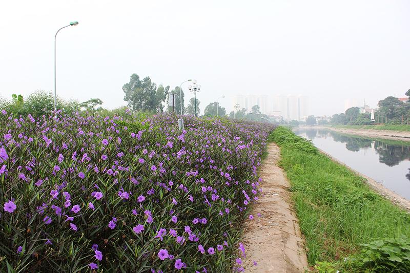 Con đường hoa chiều tím dài khoảng 1km ven bờ sông Tô Lịch do đoàn thanh niên xã Thanh Liệt (huyện Thanh Trì, Hà Nội) trồng cách đây 3 tháng.