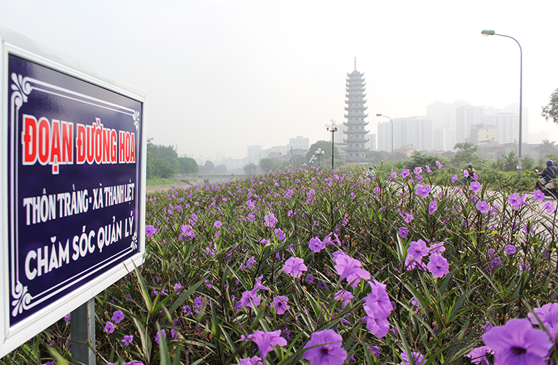Loài hoa chiều tím bán trên thị trường với giá từ 10.000 đến 12.000 đồng/khóm.