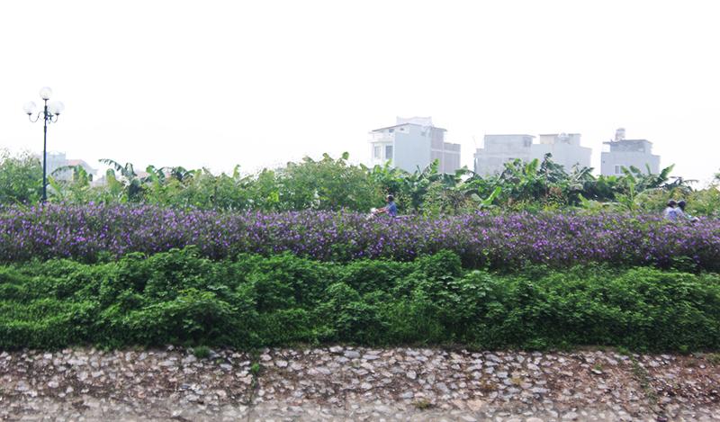 Việc trồng hoa thay thế cỏ dại ven sông Tô Lịch, không chỉ tạo cảnh quan môi trường tươi mới, mà còn giúp cải thiện chất lượng không khí quanh khu vực.