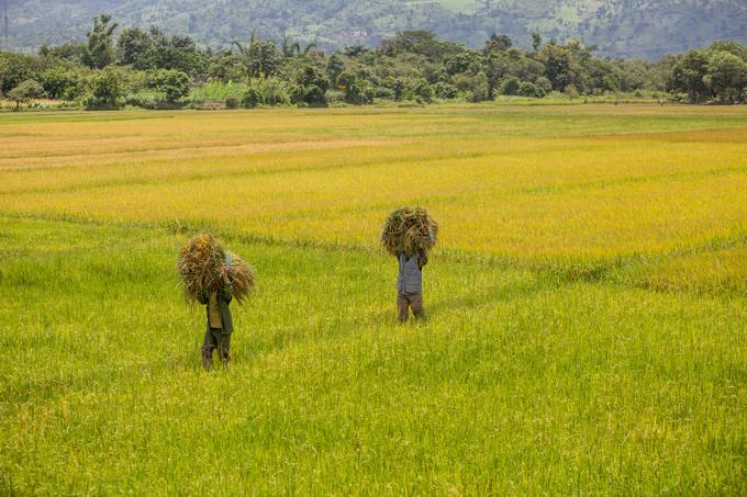 Đầu tháng 9, ven đường từ TP Buôn Ma Thuột tới hồ Lăk là những cánh đồng lúa đang vào mùa thu hoạch, thời điểm lý tưởng để du khách thưởng ngoạn khung cảnh thiên nhiên.
