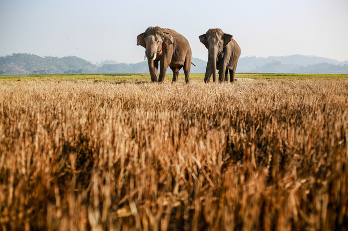 Du khách sẽ không khỏi bất ngờ khi thấy những chú voi nhà được chăn thả tự do trên cánh đồng ven hồ.