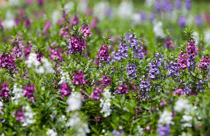 Trong vườn trồng nhiều loại hoa như trang mỹ, cúc Đà Lạt, dừa cạn Thái, phi yến, dâm bụt... tạo màu sắc trang nhã.