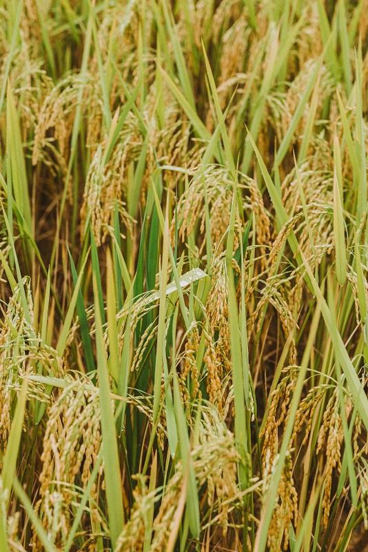 Tháng 9, tháng 10 là thời điểm Hà Giang vào mùa lúa chín. Những ruộng lúa nặng trĩu bông, thơm hương, nhuộm một màu vàng trù phú lên mảnh đất địa đầu Tổ quốc.