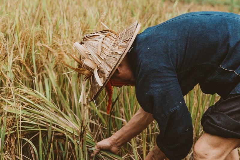 """Trên một bản làng xa xôi nào đó, du khách sẽ bất chợt bắt gặp những người nông dân vùng cao chịu thương chịu khó bắt đầu bước vào vụ thu hoạch lúa đầu mùa. Những con người lam lũ """"bán mặt cho đất, bán lưng cho trời"""" tạo nên vẻ đẹp mộc mạc cho Hà Giang."""