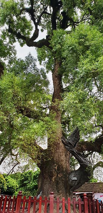 Cây cao khoảng 36m, từ năm 1932 đã được trường Viễn Đông Bác cổ (nay là Bảo tàng Lịch sử Việt Nam) xếp hạng là cây cổ thụ quý hiếm của Việt Nam