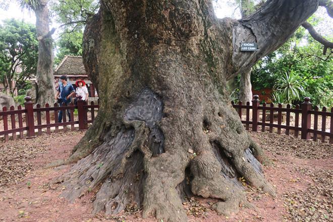 Gốc cây Dã Hương to đến 8 người ôm