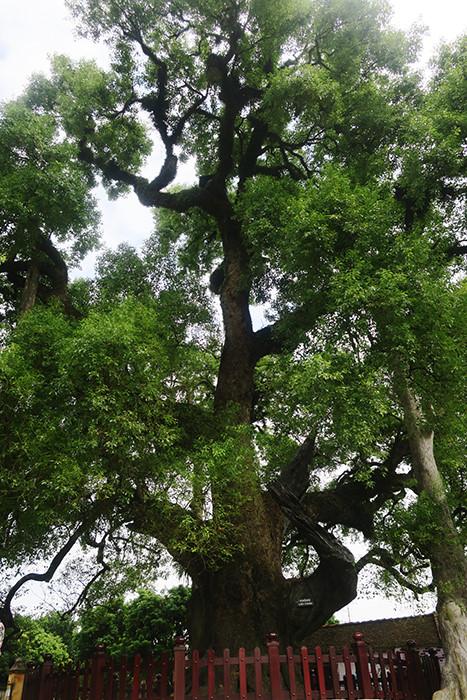 Bóng cây tỏa mát một vùng rộng lớn