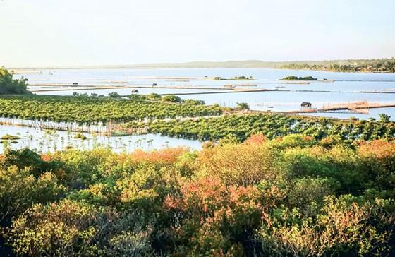 gư dân cùng nhau trồng rừng ngập mặn trên phá Tam Giang để tạo môi trường sinh sản tự nhiên cho các loài cá tôm.