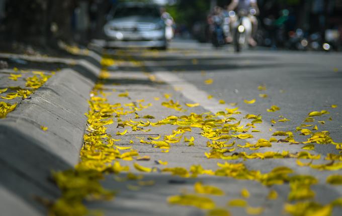 Những hàng cây sấu, xà cừ trên đường Trần Phú vẫn còn đang thay lá.