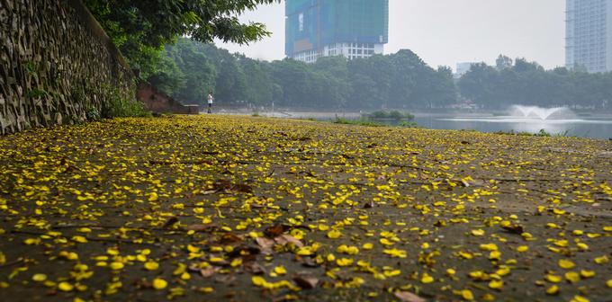 Thảm hoa quanh bờ hồ Giảng Võ cũng góp thêm sắc vàng cho ngày thu. Mùa này, nếu đi dạo vào sáng sớm, du khách sẽ nhận ra những làn sương mỏng phủ xuống thành phố cùng tiết trời dịu mát.