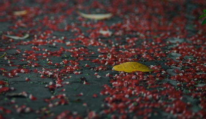 Mùa hoa lộc vừng thường bắt đầu từ tháng 6 cho đến hết tháng 9, đầu tháng 10 âm lịch. Thời điểm hoa lộc vừng rụng xuống cũng là lúc bắt đầu mùa thu.