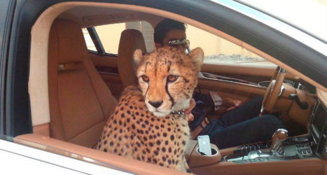Tại Dubai, người dân nuôi thú cưng là hổ, báo... bên cạnh chó, mèo như ở các quốc gia khác trên thế giới. Đôi khi, người dân nước này cũng bọc vàng cho toàn bộ siêu xe của mình. Ảnh: Green Prophet.