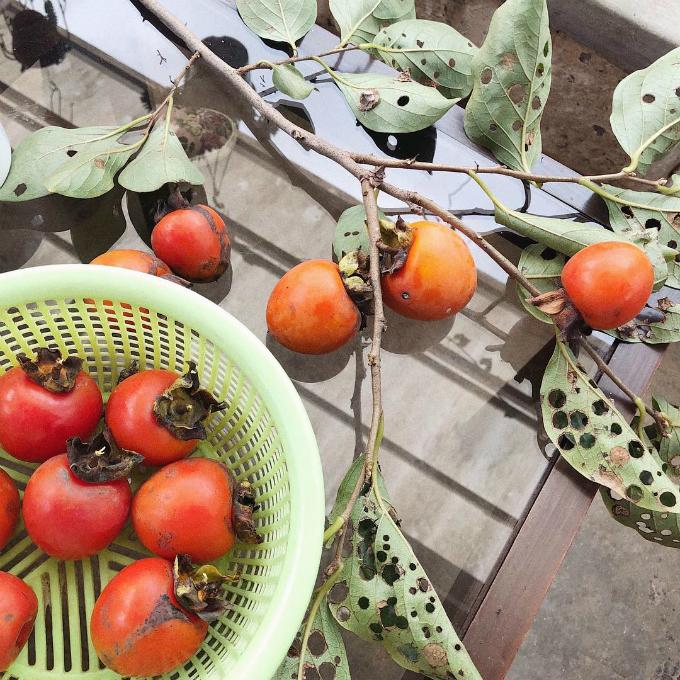"""Cả Hà Tăng và Thân Thuý Hà đều hào hứng khoe hình ảnh tự mình thu hoạch những trái hồng tươi ngon ở Greenbox - một tiệm cà phê kiêm trang trại thu nhỏ gây sốt suốt mùa hè vừa qua. Cà phê nông trại không mới mẻ ở Đà Lạt nhưng vừa thưởng thức đồ uống giữa không gian cây trái trĩu trịt vừa được nhân viên hướng dẫn cách chăm sóc cây trồng và thu hoạch rau quả nếu chúng đã """"đủ ngày đủ tháng"""" thì khá độc đáo. Bạn có thể mua chính những nông sản, trái cây tươi được trồng tại nông trại mà bản thân vừa tự hái."""
