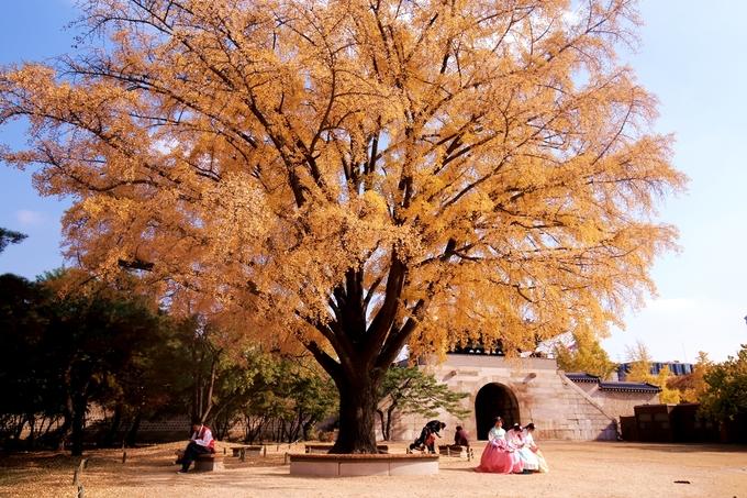 Cung Gyeongbok thu phí 3.000 won (khoảng 60.000 đồng/người) mỗi lượt tham quan. Tuy nhiên nếu bạn mặc hanbok để chụp ảnh (bất kể thuê ở tiệm nào) thì đều được miễn phí tham quan. Đây là một trong những nơi có cây ngân hạnh già đẹp nhất Seoul, mùa thu lá vàng rực, sáng cả một góc.