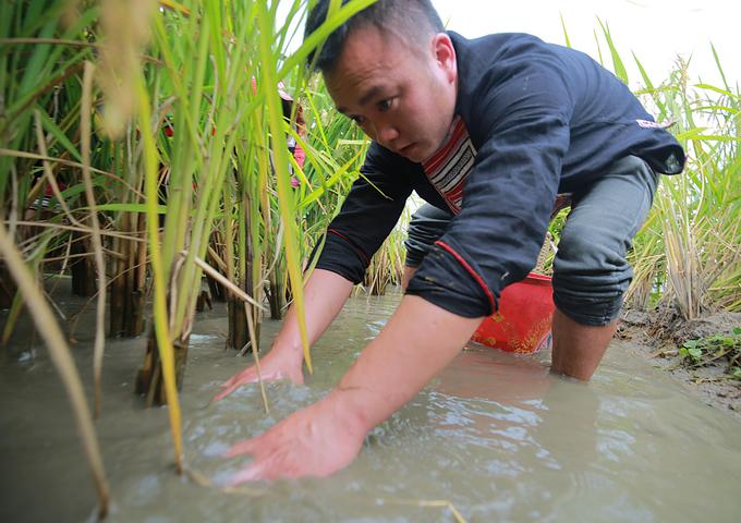 Toàn huyện có 3.570 ha ruộng bậc thang; diện tích có nước thường xuyên khoảng 500 ha, nhưng chỉ có 255 ha cấy lúa vụ xuân. Vì thế huyện Hoàng Su Phì đã xây dựng mô hình nuôi cá chép ruộng theo hướng hàng hóa gắn phát triển kinh tế hộ, tạo ra giá trị thu nhập ổn định. Tại Bản Luốc, các hộ gia đình đã đưa trải nghiệm bắt cá chép và làm du lịch trong mùa lúa chín.